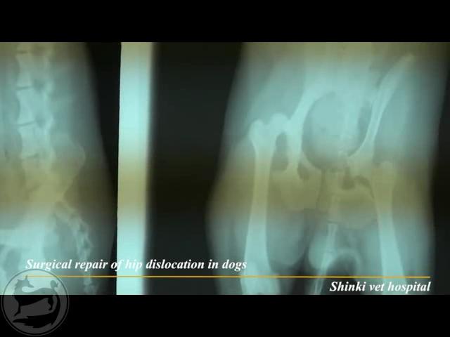 جراحی ترمیم جابجایی مفصل لگنی رانی در سگ
